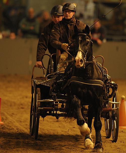 Welsh Cob Stallion op Paard & Koets 2011