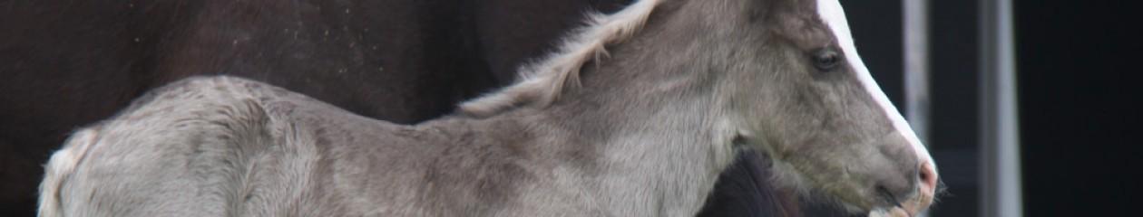 Stoeterij Ceres Welsh Cobs
